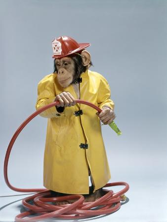 1960s Funny Chimpanzee in Fireman Raincoat and Safety Helmet Holding Red Hose
