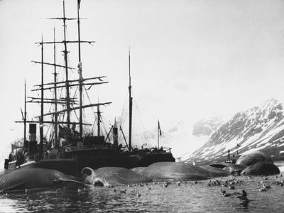 Whaler and Dead Whales