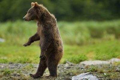 Grizzly Bear, Katmai National Park, Alaska
