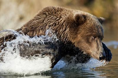 Fishing Brown Bear, Katmai National Park, Alaska