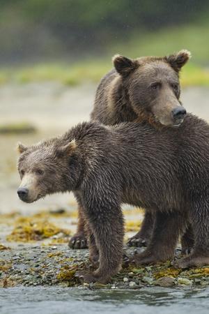 Brown Bear and Cub, Katmai National Park, Alaska