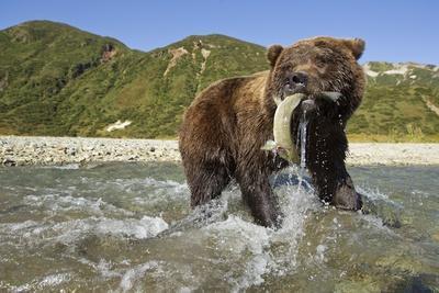 Brown Bear and Salmon, Katmai National Park, Alaska