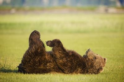 Brown Bear Lying on Back with Feet Raised at Hallo Bay