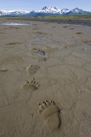 Brown Bear Tracks at Hallo Bay in Katmai National Park