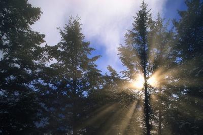 Sunlight Through Evergreen Forest