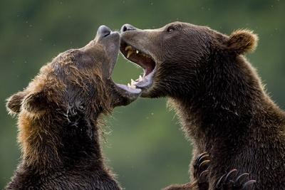 Brown Bears Sparring at Kukak Bay in Katmai National Park