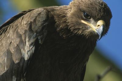 Close-Up of Tawny Eagle