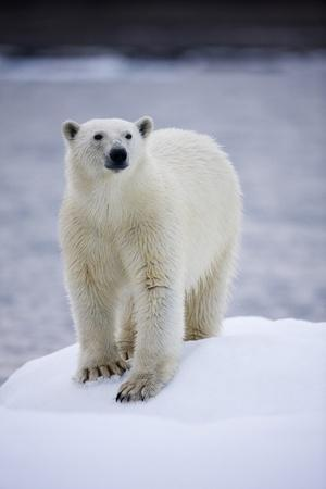 Polar Bear on Iceberg at Svalbard on Summer Evening