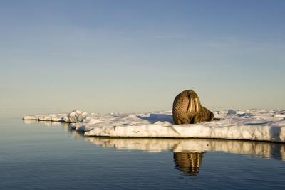 Walrus on Iceberg Near Kapp Lee in Midnight Sun