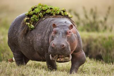 Hippopotomaus Walking on Savanna with Vegetation on it's Back