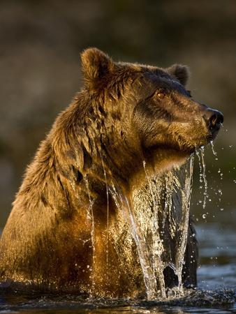 Brown Bear Emerging from Stream While Fishing at Kinak Bay