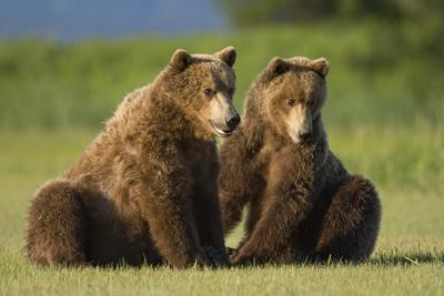 Two Brown Bears Sitting in Meadow at Hallo Bay