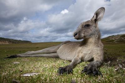 Eastern Gray Kangaroo in Murramarang National Park