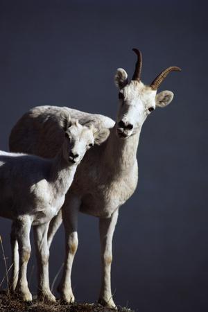 Dall's Lamb and Ewe