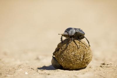 Dung Beetles in Kgalagadi Transfrontier Park