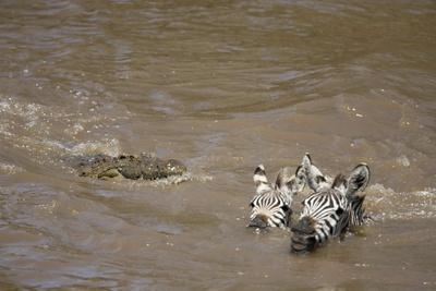 Nile Crocodile Hunting Zebra Crossing River in Masai Mara, Kenya