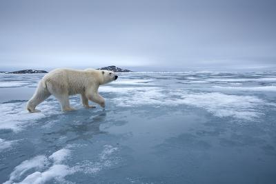 Polar Bear Walking on Melting Ice