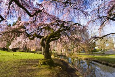 Blooming Cherry Trees by Creek
