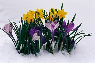 Crocuses and Daffodils in Snow