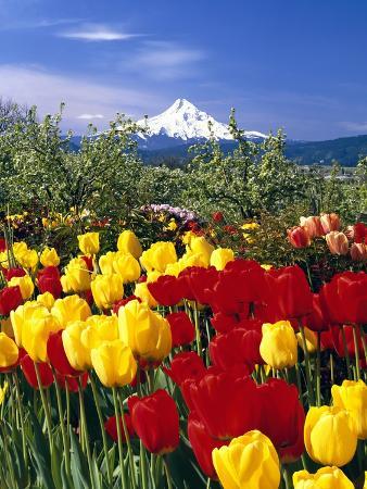 Blooming Tulips and Mount Hood