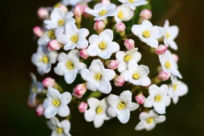 Closeup of Daphne Flower