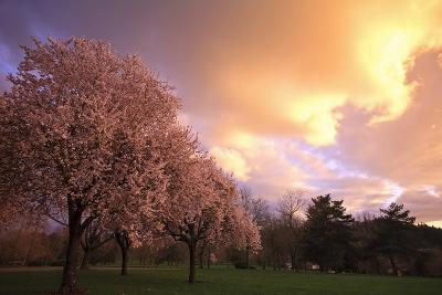 Blooming Cherry Trees at Sunset