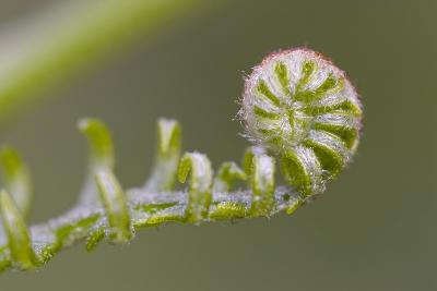 Curled Fern Frond