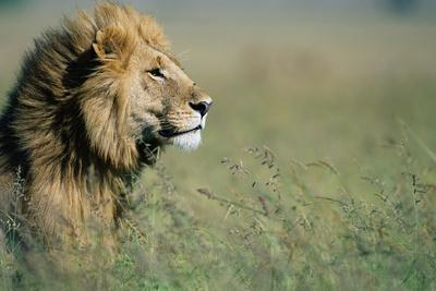 Male Lion in Tall Grass