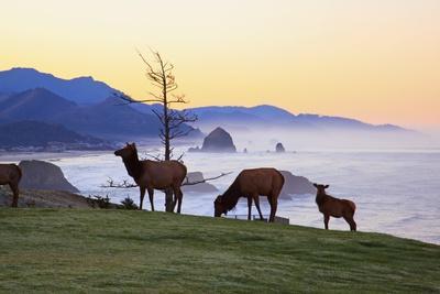 Elk at Sunrise, Ecola State Park and Haystck Rock, Oregon Coast