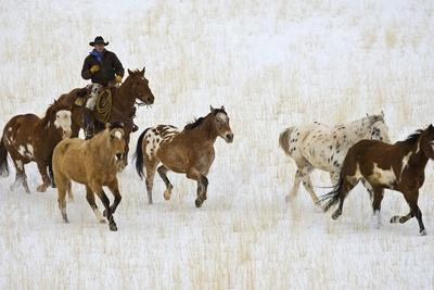 Cowboy Herding Horses at Hide Out Ranch in Wyoming