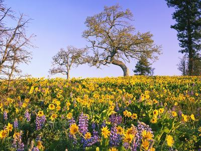 Field of Lupines and Sunflowers