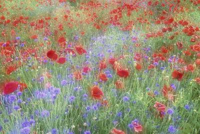 Field of Red Poppies and Bachelor Buttons