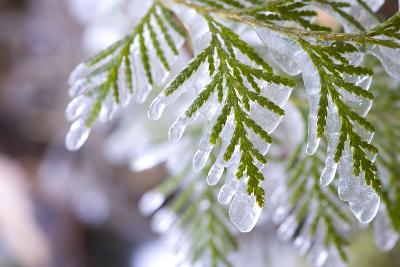 Close-Up of Ice-Covered Conifer