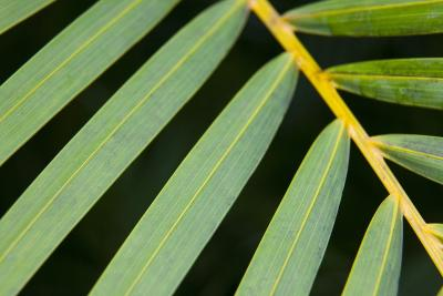 Closeup of Palm Leaves