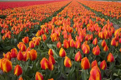 Field of Variegated Tulips Near Keukenhof Gardens in the Netherlands