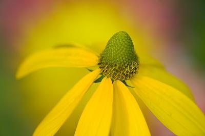 Close-Up of Yellow Coneflower