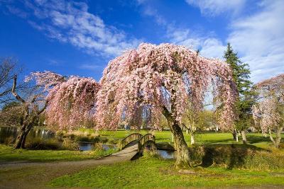 Footbridge Between Cherry Trees in Bloom