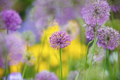 Schreiner Iris Gardens in Salem, Oregon