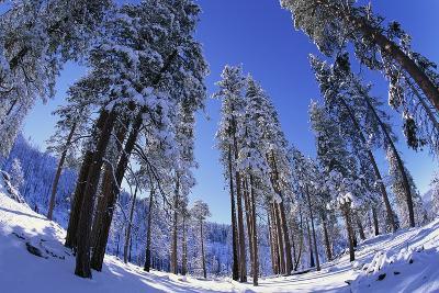 Ponderosa Pines in Winter