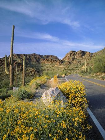 Desert Road with Cactus and Brittlebush