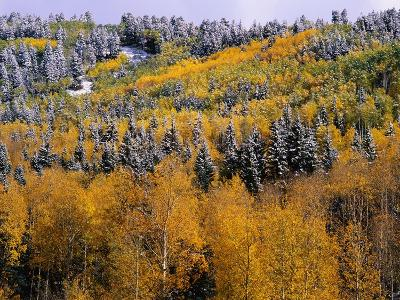 Forest of Aspens and Firs
