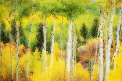 Forest of Aspens and Firs Along Kebler Pass