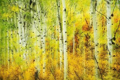 Forest of Aspens Along Kebler Pass