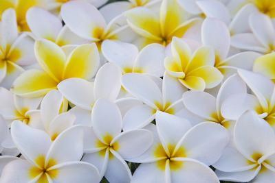 White and Yellow Frangipani