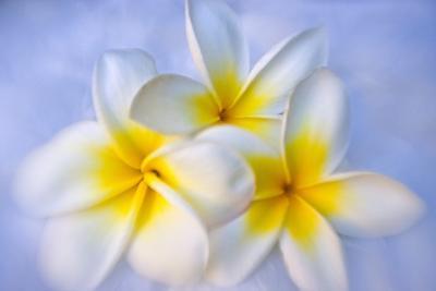 White and Yellow Frangipani Blossoms