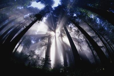 Sunlight Passing Through Redwood Forest