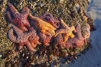 Starfish on Rock Formatins, Ecola State Park, Oregon Coast, Pacific Northwest, United States