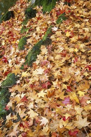 Leaves in Fall Color in Park