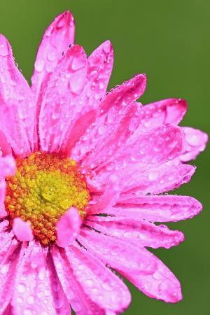 Close-Up of Wildflower with Dew Drops