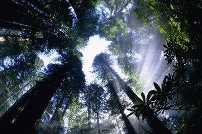 Sun Breaking Through Redwood Canopy